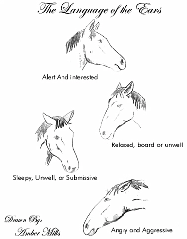 The Language of Horse's Ears